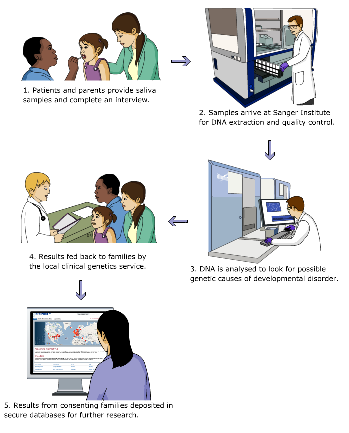 1. Patients and parents provide saliva samples and complete an interview 2. Samples arrive at Sanger Institute for DNA extraction and quality control. 3. DNA is analysed to look for possible genetic causes of developmental disorder. 4. Results fed back to families by the local clinical genetics service. 5. Results from consenting families deposited in secure databases for further research.